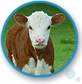 Cattle Ruminants Products