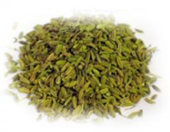 Fennel /Aniseed (Pimpinella anisum)