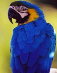 Gold Blue Macaw
