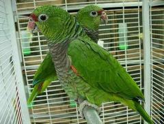 Amazons Parrots