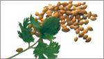 Plucked coriander