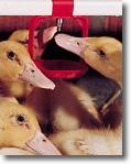 Floor-Watering System For Ducks