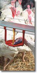 Floor-Watering System For Turkeys
