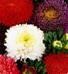 Aster Imported Mixed Seeds