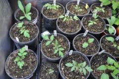 Artichoke Seeds