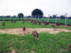 EMU Farming And Management
