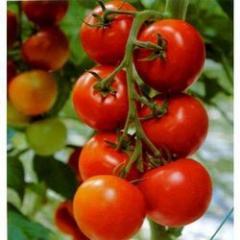 Quality Tomato Seeds