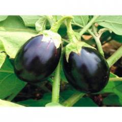Quality Brinjal Seeds