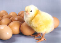 Broiler Hatching Eggs