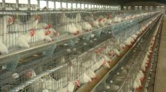 California Type Poultry Cages