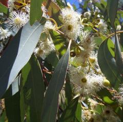 Eucaiyptus Oil