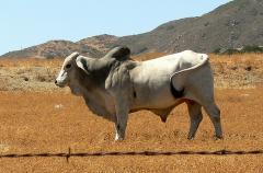 Ongole Bulls