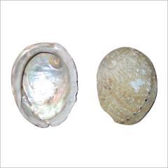 Silver Pink Abalone Shell