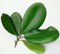 Bay leaves come from the sweet bay or laurel tree,