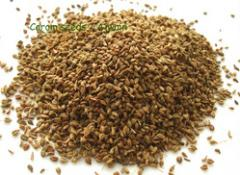 Bishop's Weed (Ajwain) is a minute,