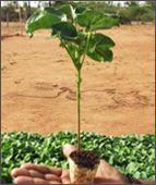 Lady Fingers Seedlings