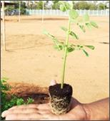 Drumstick Seedlings