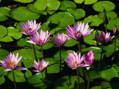 Herbal Extracts like Garcinia, Senna, Gymnema,