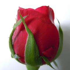 Fresh cut flowers, Roses