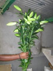 Liliums, Fresh cut flowers