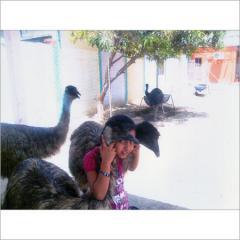 High Breed Emu Chicks