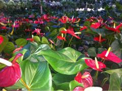 Anthuriums Plants