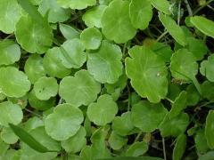 Hydrocotyle Asiatica