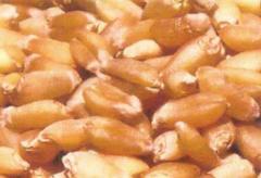Wheat Seeds ASCPL-PBW-373