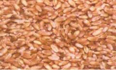 Wheat Seeds ASCPL-PBW-154