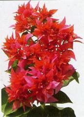Indoor Plants (Bougainvillea spectabilis tahitian