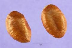 Asmina Seeds