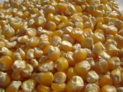Yellow Maize (Human Consumption & Animal