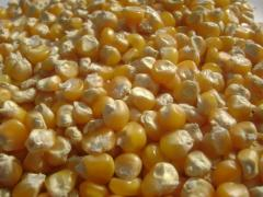 Yellow Maize (Human Consumption & Animal Feed)