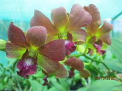 Orchid-Plants, spathoglottis, dendrobiums, oncidiums