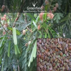 Subabool tree seeds ( Leucaena leucocephala )