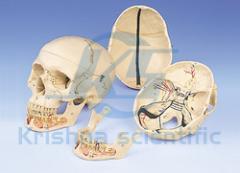 Dental Skull Opened Lower Jaw