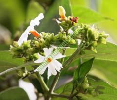 Coral Jasmine
