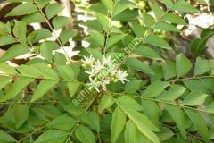 Murraya Koenigii Leaves