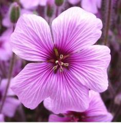 Pelagronium Gravolens