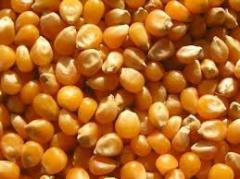 Yellow Corn-Maize