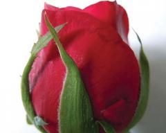 Cut Flowers(Dutch Rose, Gerbera). Marigold.