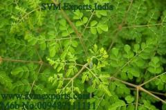 Moringa T Cut Leaf Suppliers India
