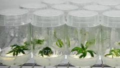 Plant Gel (Gellan Gum)