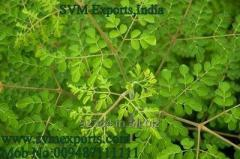 First Quality Moringa Leaf Suppliers India