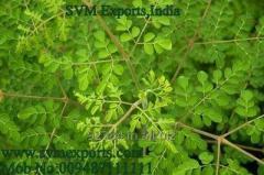 Moringa Tea Cut Leaf Suppliers India