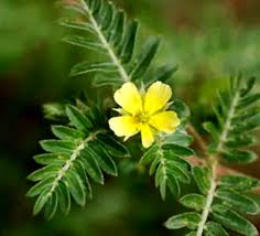 Tribulus Terrestris Suppliers