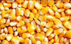 Maize yellow