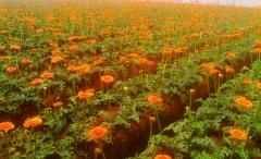 Young Plants of Gerbera
