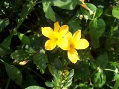 Barleria Prionitis L.  Family:acanthaceae
