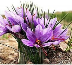 Crocus Sativus Saffron Bulbs